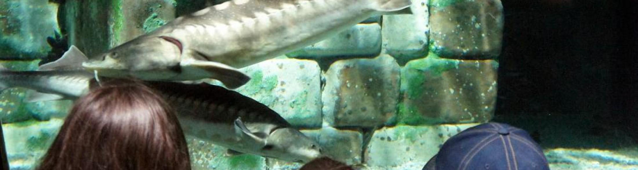 Storioni e anguille tornano a ripopolare l'area sud del Delta del Po