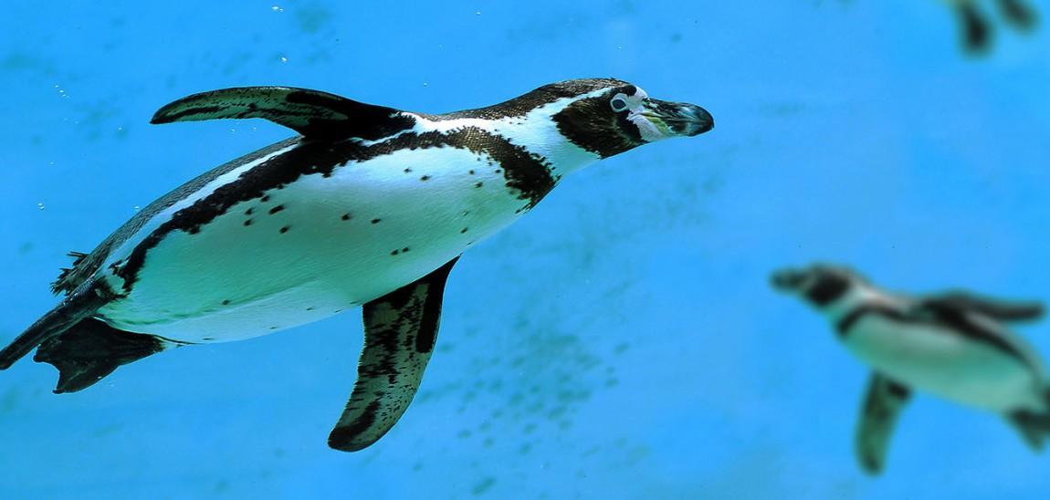 Pinguiniamo